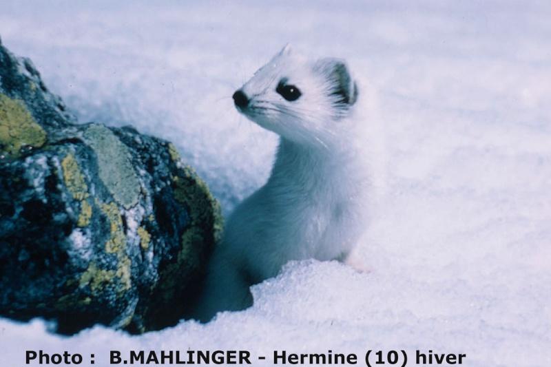 Le mimétisme et Camouflage chez les Animaux. Hermin11