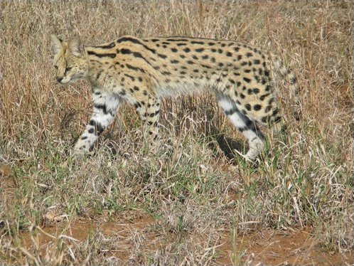 le serval Serval15