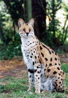 le serval Serval16