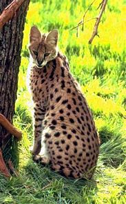 le serval Serval18