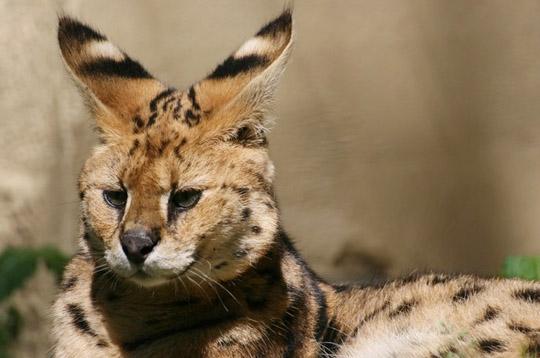 le serval Serval19