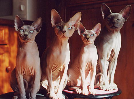 le chat sphynx Sphynx10