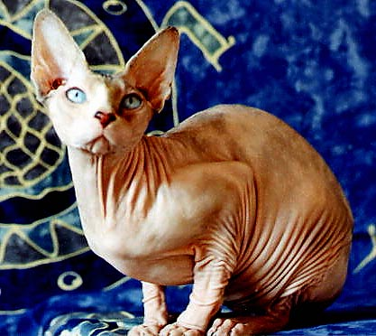 le chat sphynx Sphynx12