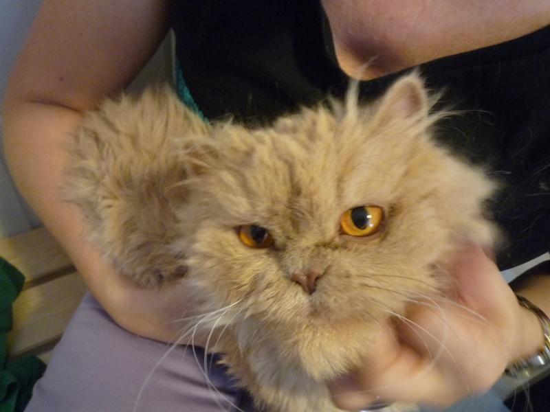 Kiara,preciosa persa muy cariñosa y tranquila.¡Adoptada! P1020718