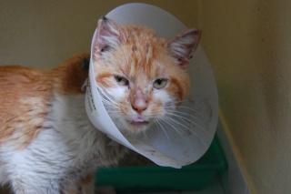 TOULOUZ chat male roux et blanc environ 3 ans double positif (en soins) Dsc_0225