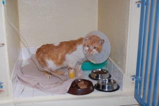 TOULOUZ chat male roux et blanc environ 3 ans double positif (en soins) Dsc_0228