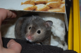 Muffin hamster syrien 5 mois Dsc_0317