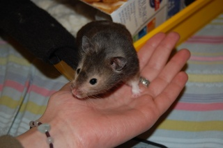 Muffin hamster syrien 5 mois Dsc_0318