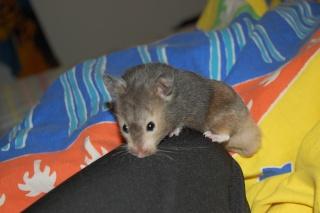 Muffin hamster syrien 5 mois Dsc_0320