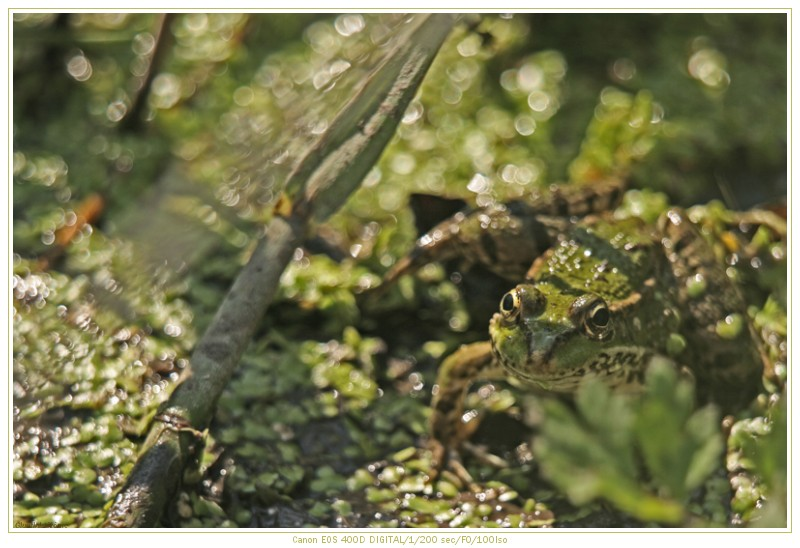 Grenouille !! Img_5010