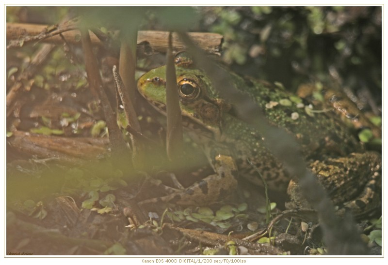 Grenouille !! Img_5011