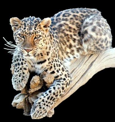 Animaux Bigcat10