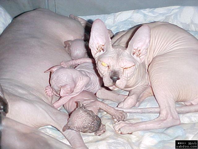 اغرب القطط في العالم...... 11814710
