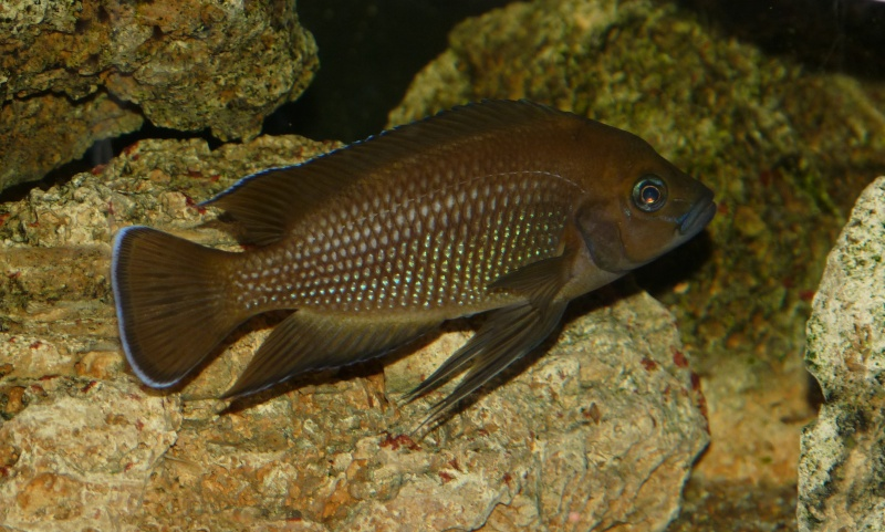 Variabilichromis Moorii P1020410