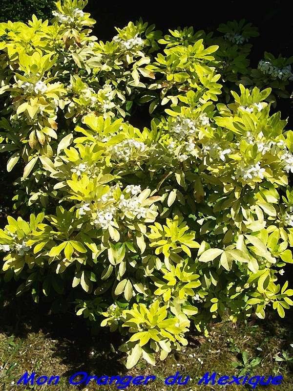 Mon Oranger du Mexique (petit jardin devant) Mon_or10
