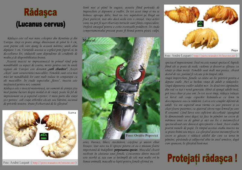 Protejati Radasca! Lucanu11