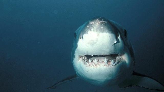 Australia se plantea desproteger al Gran Blanco por supuestos aumentos de ataques a humanos Tiburo10