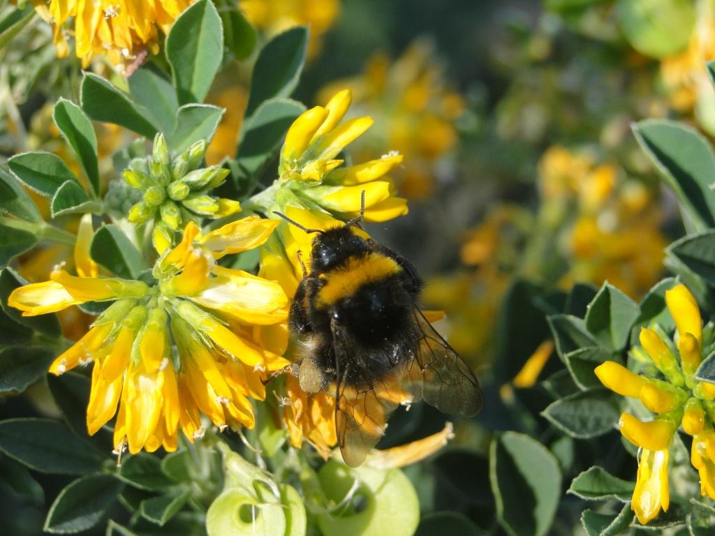 les abeilles!!! Fleur_63