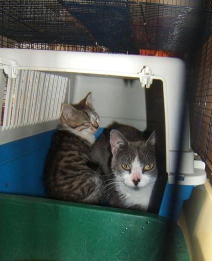 Pussi 10 mois et Shayn 3 mois Chat_d10