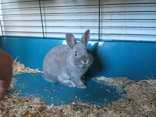 Pimprenelle, petite lapine de 2 mois environ Pimpre10
