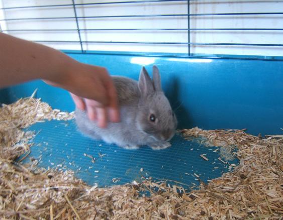 Pimprenelle, petite lapine de 2 mois environ Pimpre11