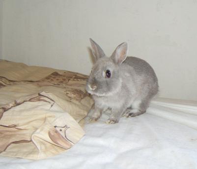 Pimprenelle, petite lapine de 2 mois environ Pimpre12