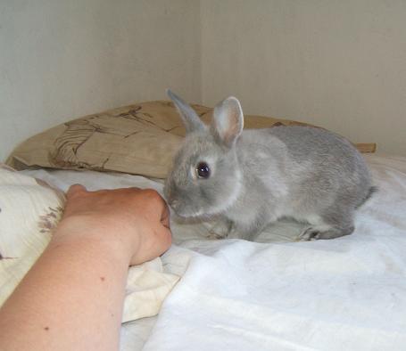 Pimprenelle, petite lapine de 2 mois environ Pimpre13