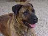 EROS (mâle Dogo Canario de 4 ANS)
