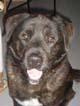 VODKA (mâle croisé Labrador-Boxer de 3 ANS)