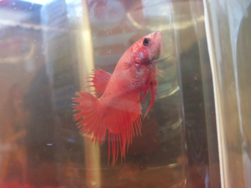 Reproduction de mon couple crowntail orange réussie [photos] 55260610