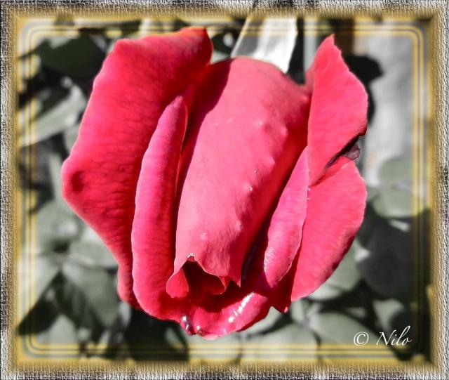 """Nilo """"GRAF"""" 2-rosa10"""