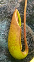 Nepenthès Miranda + évolution urnes + fleurs (c'est ta faute Telenos) P1130512