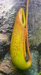 Nepenthès Miranda + évolution urnes + fleurs (c'est ta faute Telenos) P1130529