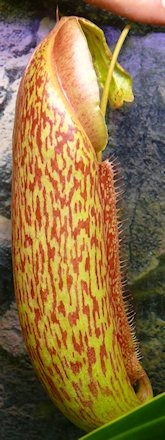 Nepenthès Miranda + évolution urnes + fleurs (c'est ta faute Telenos) P1130540