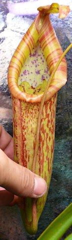 Nepenthès Miranda + évolution urnes + fleurs (c'est ta faute Telenos) P1130620