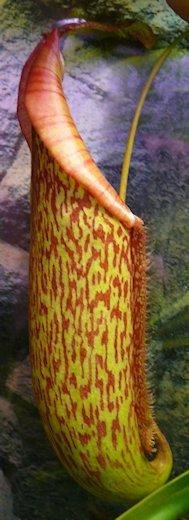 Nepenthès Miranda + évolution urnes + fleurs (c'est ta faute Telenos) P1130621