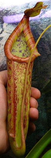 Nepenthès Miranda + évolution urnes + fleurs (c'est ta faute Telenos) P1130622