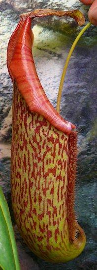 Nepenthès Miranda + évolution urnes + fleurs (c'est ta faute Telenos) P1130623