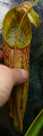 Nepenthès Miranda + évolution urnes + fleurs (c'est ta faute Telenos) P1130625