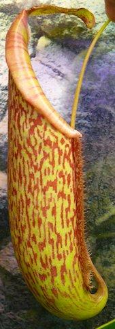 Nepenthès Miranda + évolution urnes + fleurs (c'est ta faute Telenos) P1130626