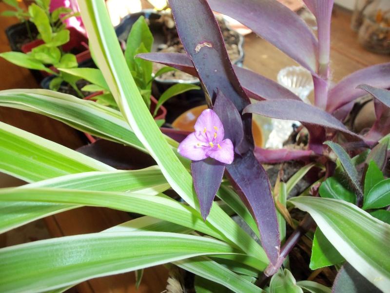 setcréacéa purpuréa 102_1613