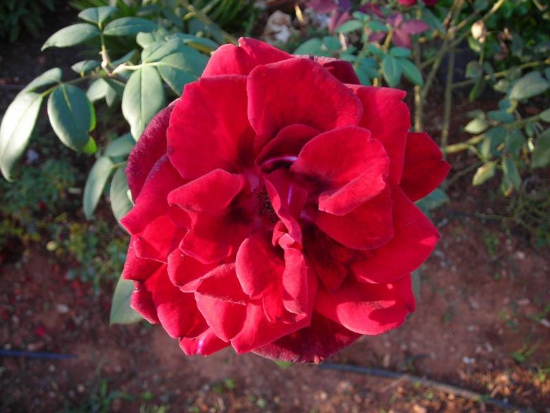 Nuestro jardín de Sa Possessió - Página 5 200_oc30