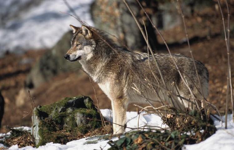 Les loups Loup-e10