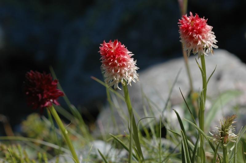 Orchidées suisses! Dsc_1010