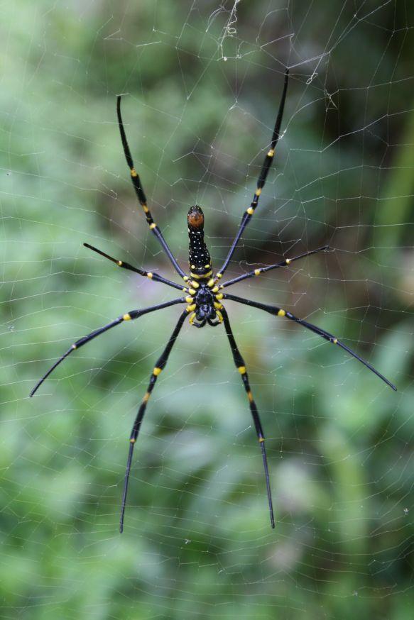 Araignée indonésienne Araign10