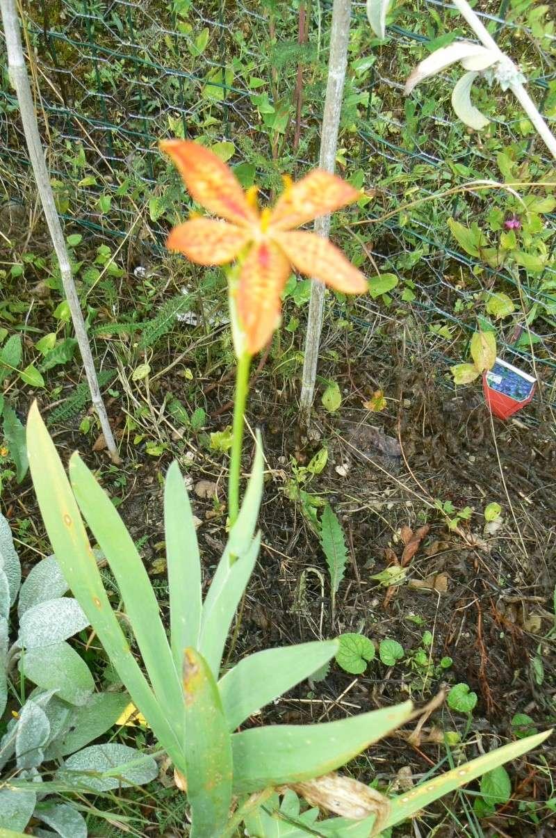 Belamcanda chinensis P1030320