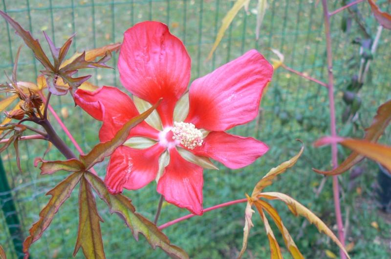 Hibiscus coccineus - Page 4 P1030549