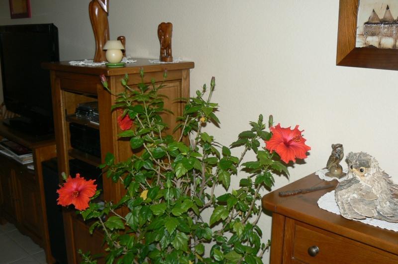 hibiscus d'intérieur ou de veranda P1030551