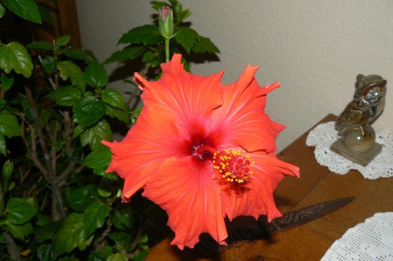 hibiscus d'intérieur ou de veranda P1030552