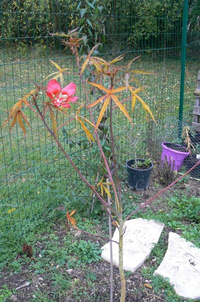Hibiscus coccineus - Page 5 P1030554